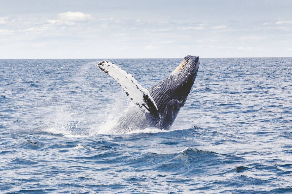 a humpback whale coming up from the water on its back
